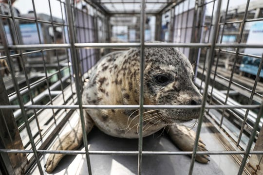 A spotted seal sits in a cage before being released Friday into the sea near Dalian in northeastern China's Liaoning province.