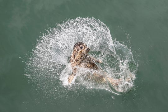 A spotted seal splashes into the water after being released May 10 by officials near Dalian in northeastern China's Liaoning province.
