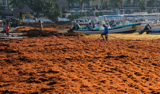 Sargassum seaweed covers the beach in Playa del Carmen, Mexico, Wednesday, May 8, 2019. Strangely, for the moment, even after what looks to be the start of another bad sargassum year, local officials say there has yet to be any noticeable drop-off in tourism bookings.