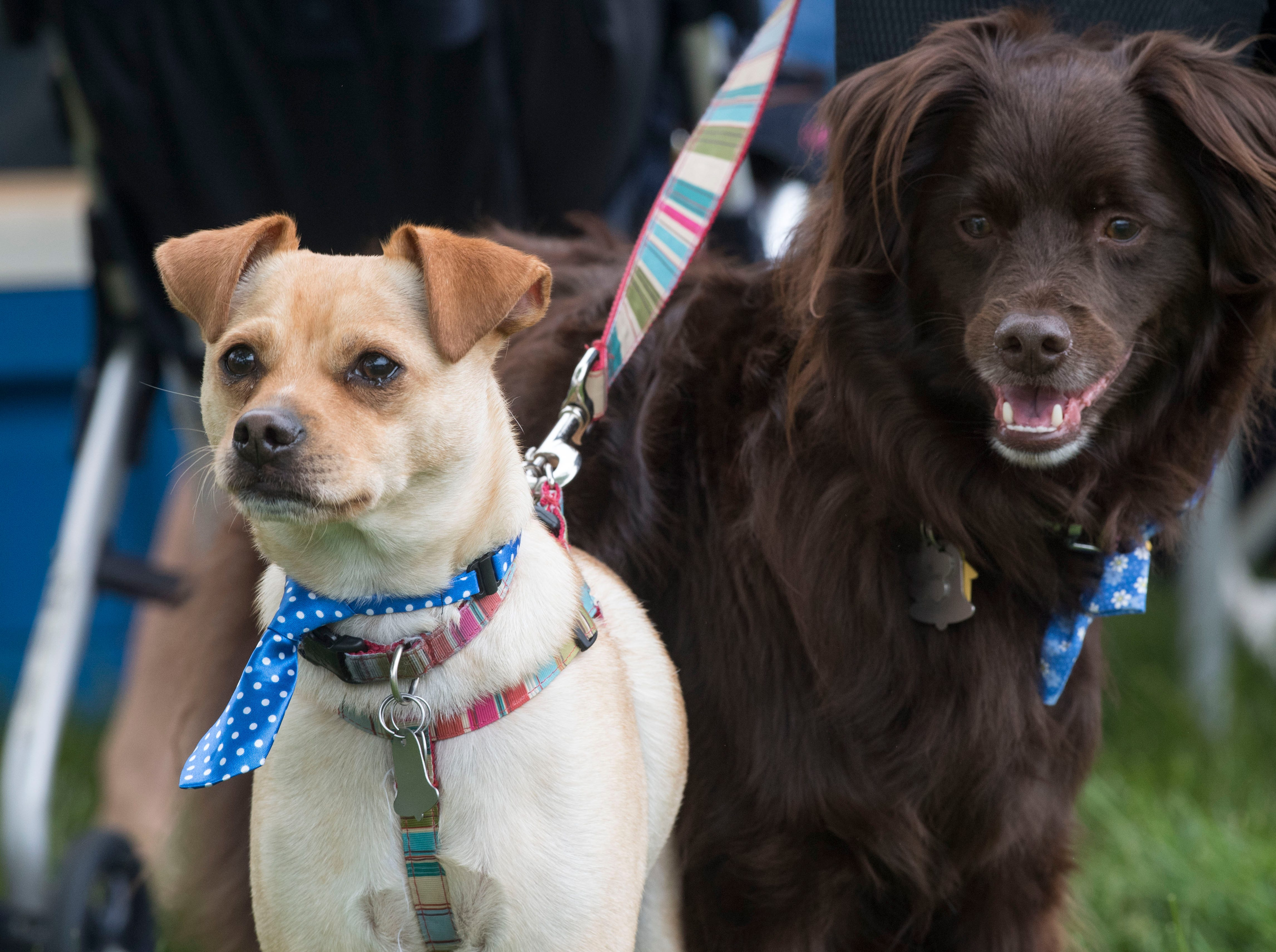 Dexter, left, a mix from the Evansville Animal Care and Control shelter, and Addie, right, a Australian Shepard mix, check out the action during the 2019 Spirit Fest Saturday, May 11, 2019. Spirit Fest is a day of fun and activities that benefits the Spirit Medical Fund which raises money for the Evansville Animal Care and Control shelter.
