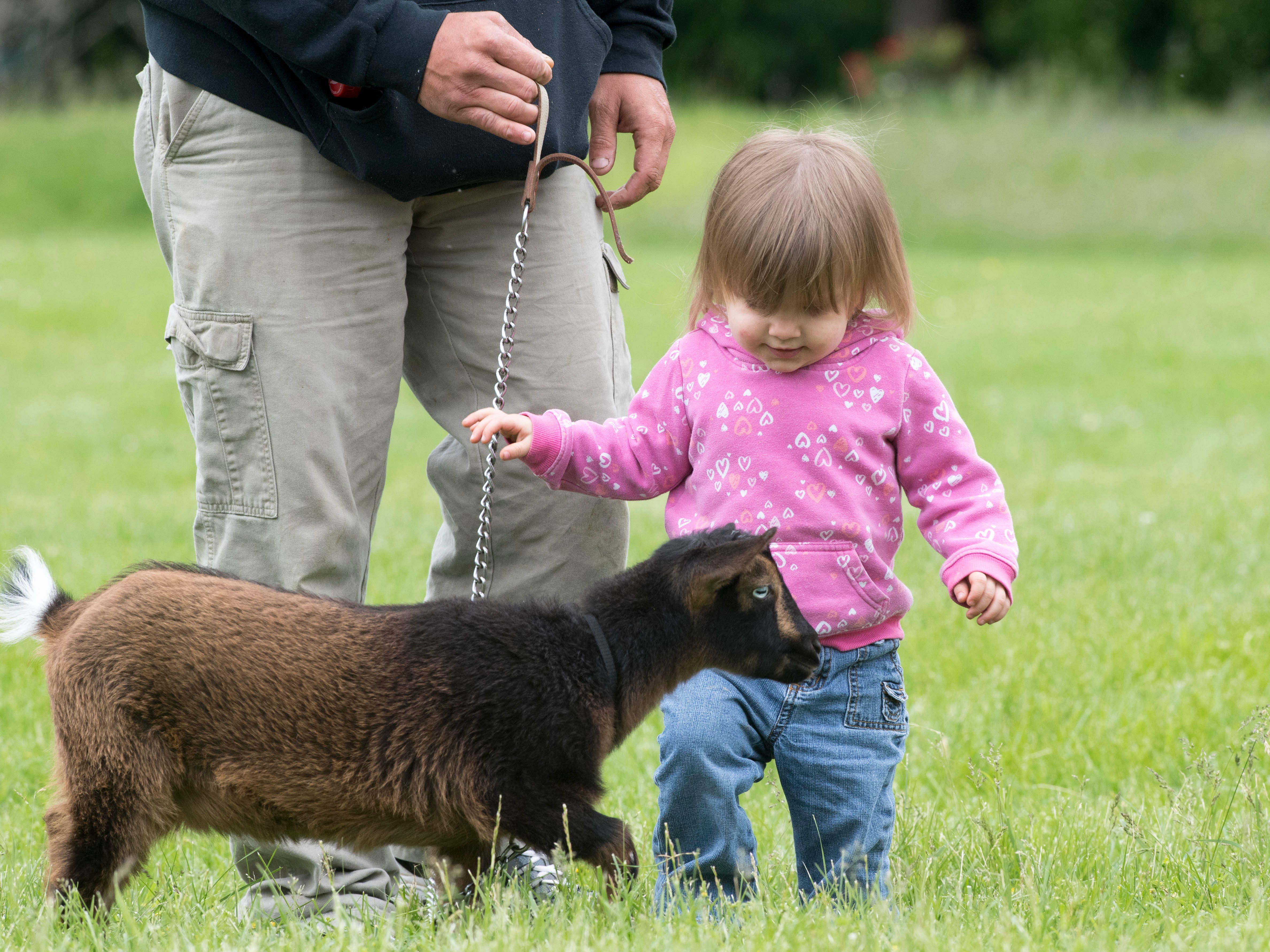 Rylie Glaser, 22 months, runs to pet the Nigerian Dwarf goat, Hershey, during the 2019 Spirit Fest Saturday, May 11, 2019. Spirit Fest is a day of fun and activities that benefits the Spirit Medical Fund which raises money for the Evansville Animal Care and Control shelter.