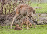 Baby deer born in Lakeside Park