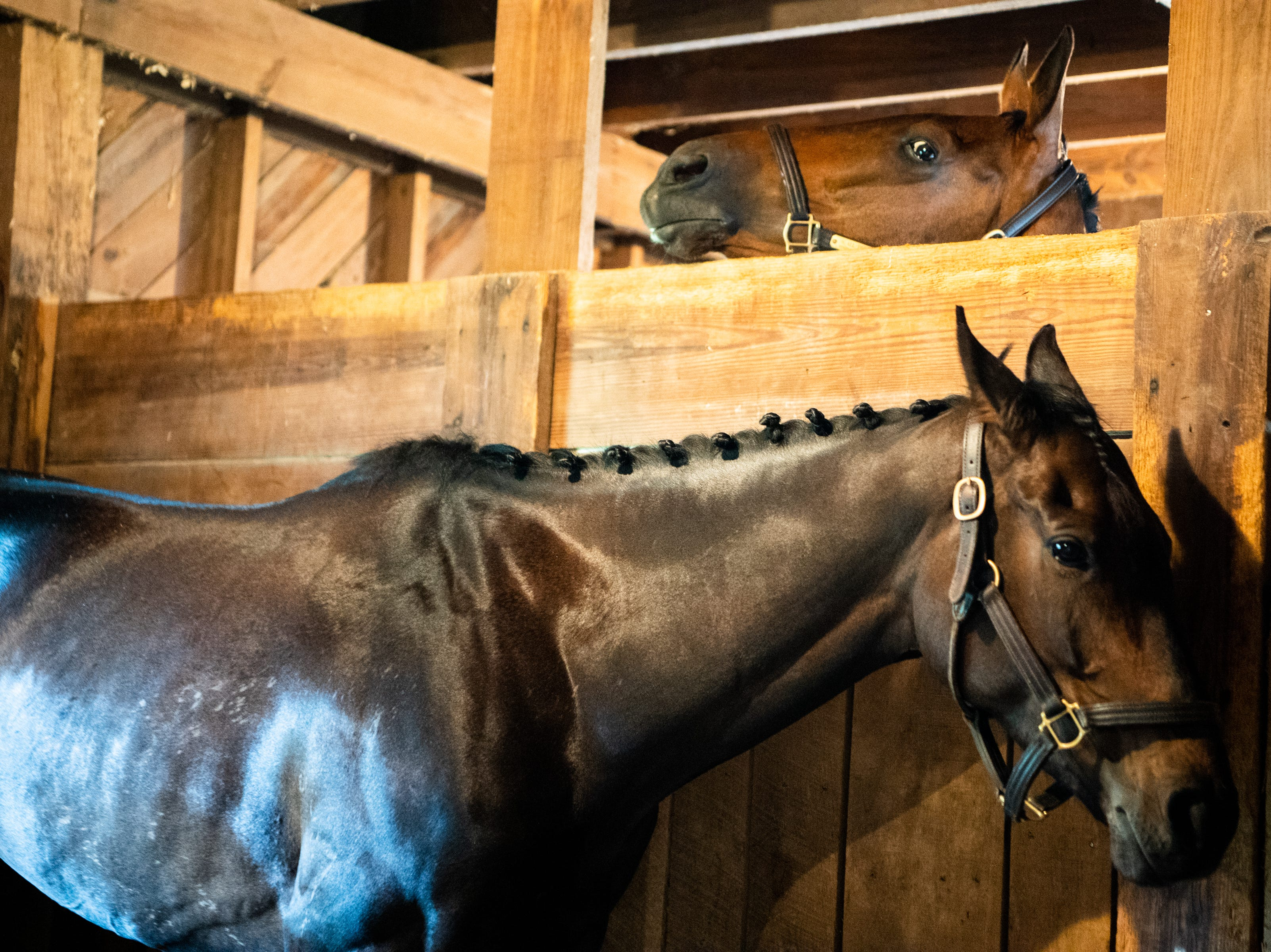 A horse peeks over a stable during the Iroquois Steeplechase at Percy Warner Park Saturday, May 11, 2019, in Nashville, Tenn.