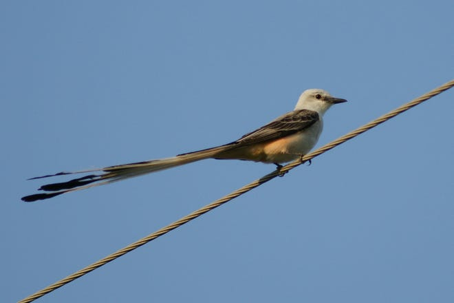 The scissor-tailed flycatcher can be mistaken with no other indigenous avian species, and is a harbinger of warm weather.