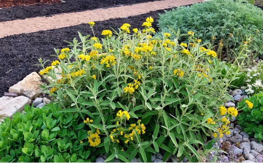 Jerusalem sage, Phlomis fruticose, is a heat-tolerant perennial with bright yellow flowers which blooms in the spring.