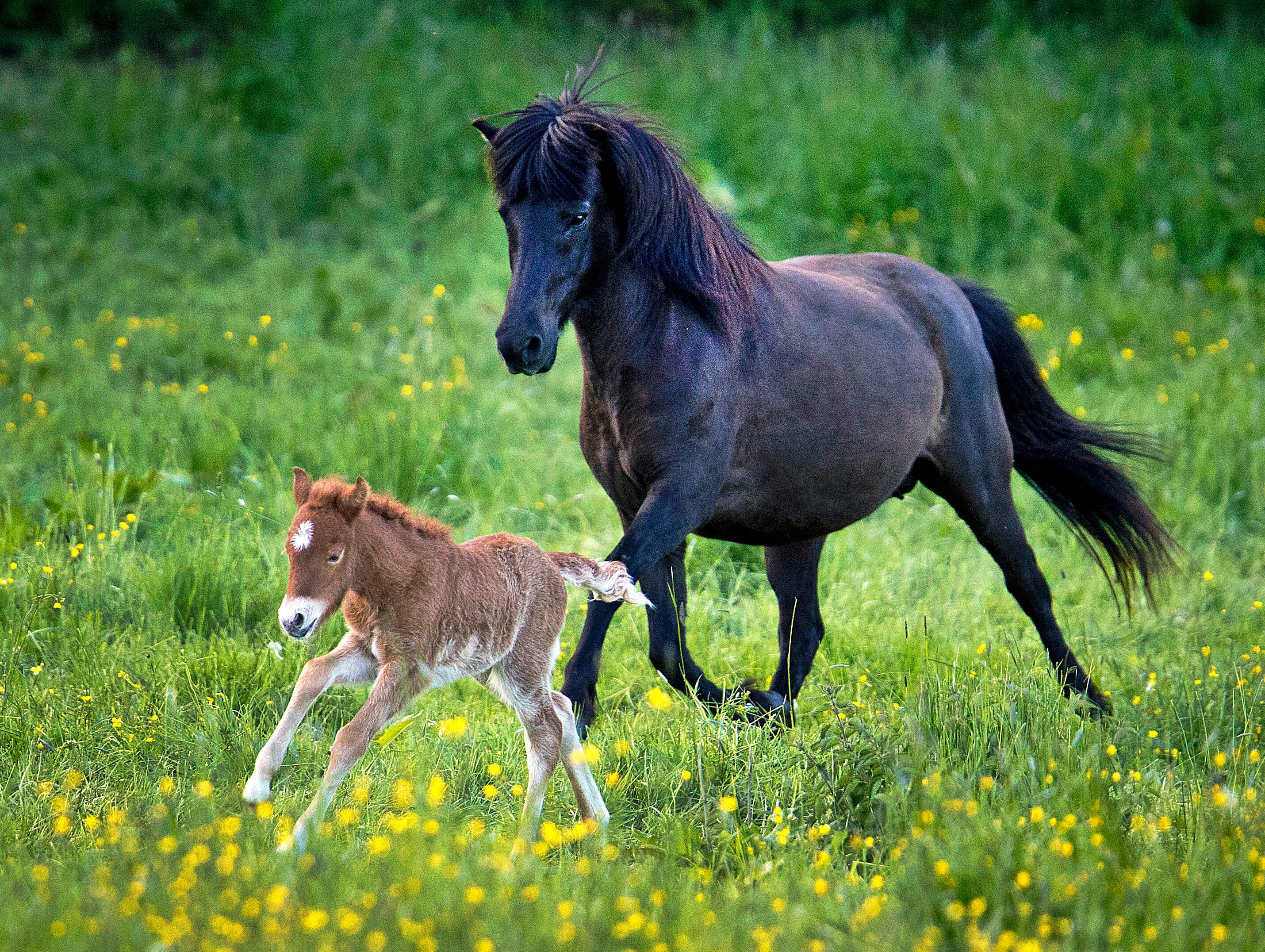 A 24-hours-old Iceland horse foal runs with its mother in their paddock in Wehrheim near Frankfurt, Germany, Sunday, May 12, 2019.