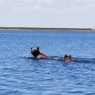 Two grizzlies spotted swimming across Lake Frances
