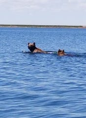 Anglers spotted two grizzly bears  swimming across Lake Frances Saturday afternoon.