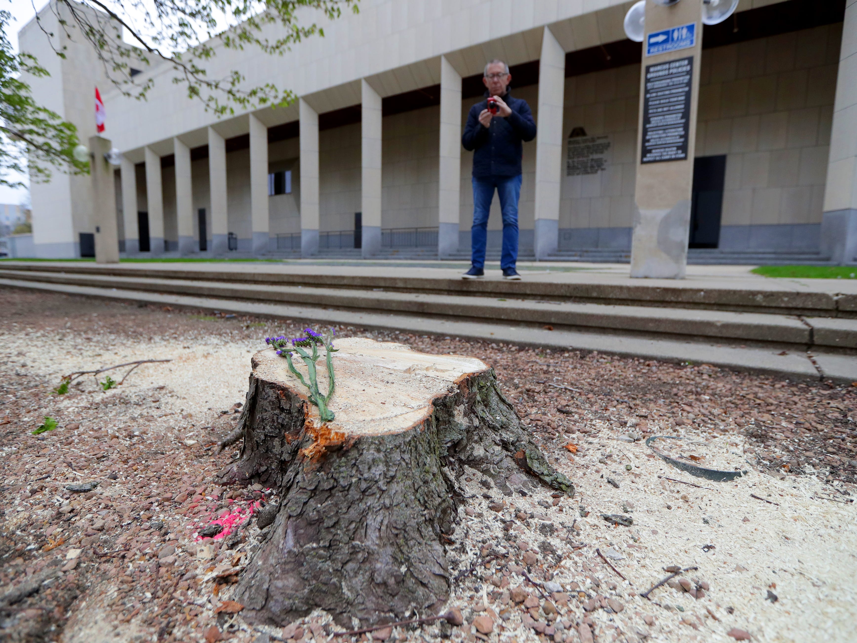 """""""It's sad,"""" said Mike Wavra of Milwaukee as he takes photos of the tree stumps in the sunken grove outside the Marcus Center for the Performing Arts in Milwaukee on Sunday. """"I don't see the necessity (for the removal),"""" Wavra continued. """"It's the only thing like this down here."""" Crews cut down nearly 20 trees Saturday morning as part of a planned renovation to convert the space into a grassy lawn."""