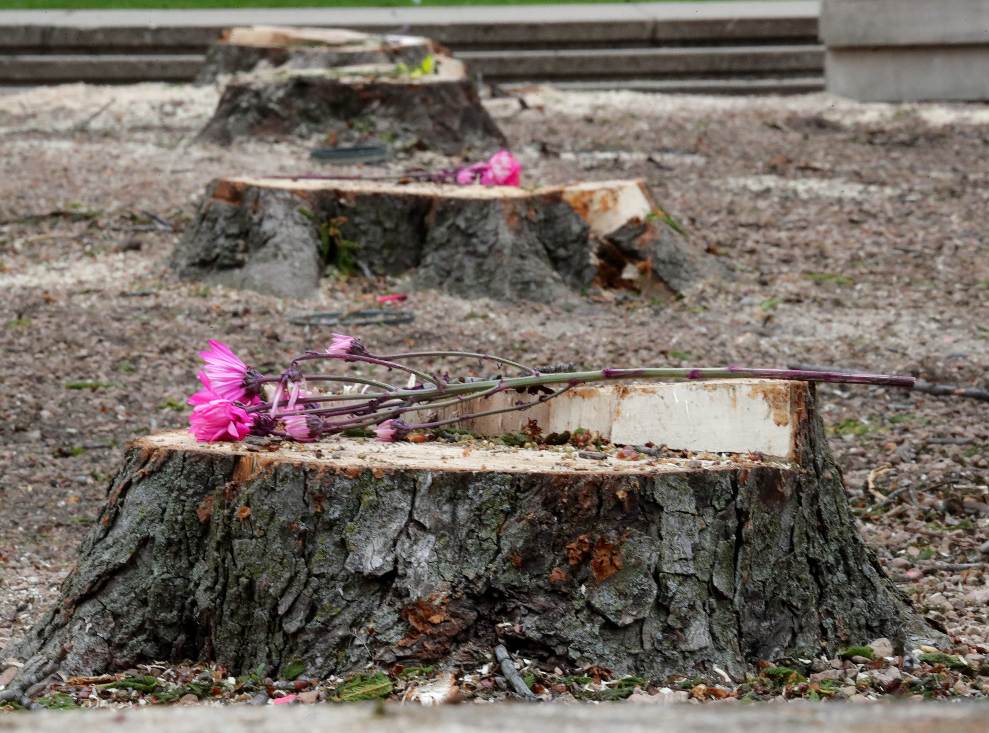 Flowers have been placed on tree stumps in the sunken grove outside the Marcus Center for the Performing Arts in Milwaukee. Crews cut down nearly 20 trees Saturday morning as part of a planned renovation to convert the  space into a grassy lawn.
