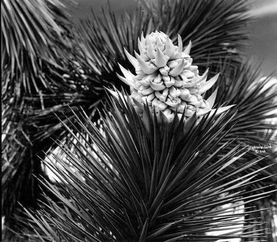 Stephen Willard photograph of a Joshua tree.