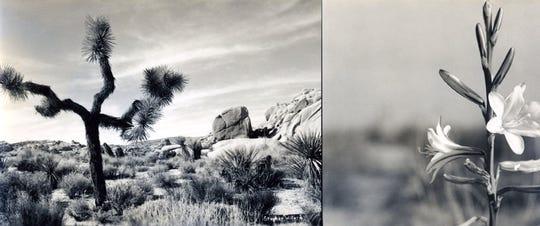 Stephen Willard photograph of a Joshua tree used for Minerva Hamilton Hoyt's Christmas card.