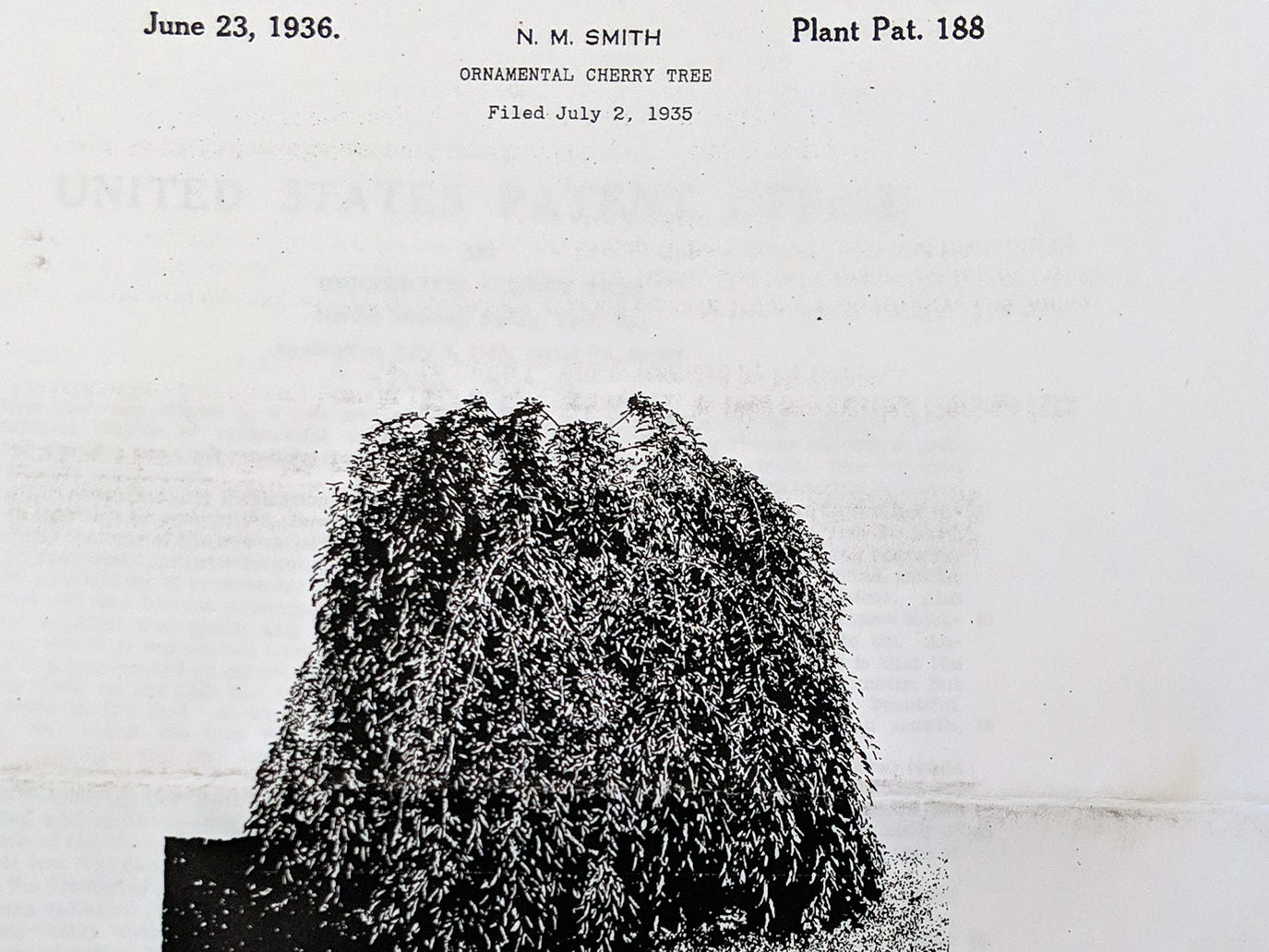 The cover of the document that shows a picture of the tree that received a patent in June 1936.