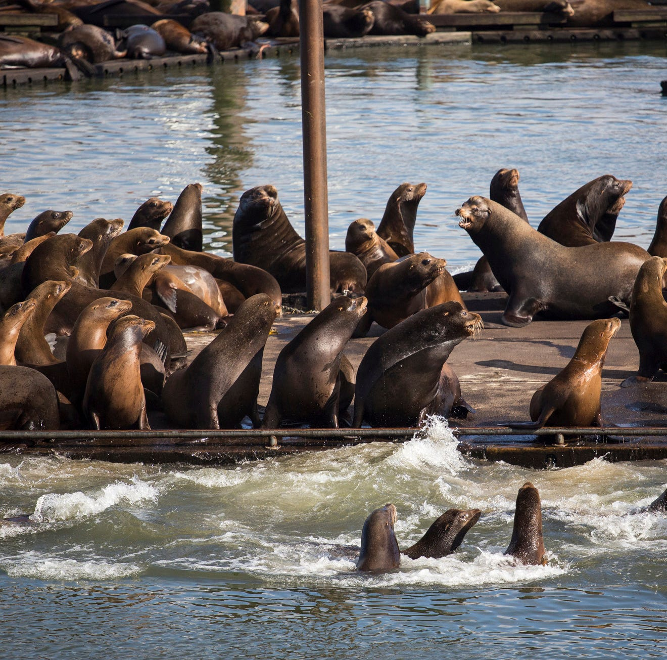 Sea lion population growth along the West Coast causing problems at marinas and ports