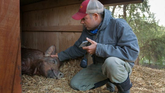 "John Chester checks on Emma the pig in a scene from ""The Biggest Little Farm,"" a documentary about the trials, tribulations and triumphs that went into creating Apricot Lane Farms in Moorpark."