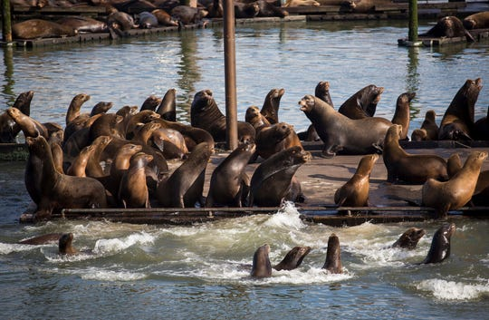 Seals and California sea lions gather on the docks of the East End Mooring Basin in Astoria, Ore. The protected animals are making a mess along the West Coast.
