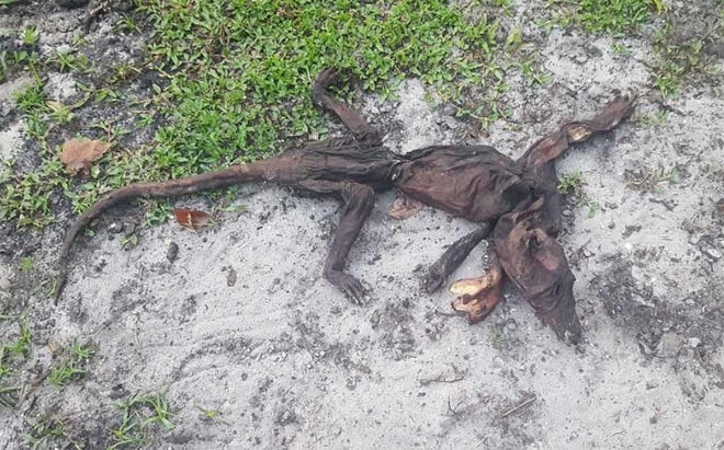 """Kelly Garrahan said she found the """"mystery animal"""" in her yard and asked whether anyone hadseen anything similar to it before or had any idea what it could be."""