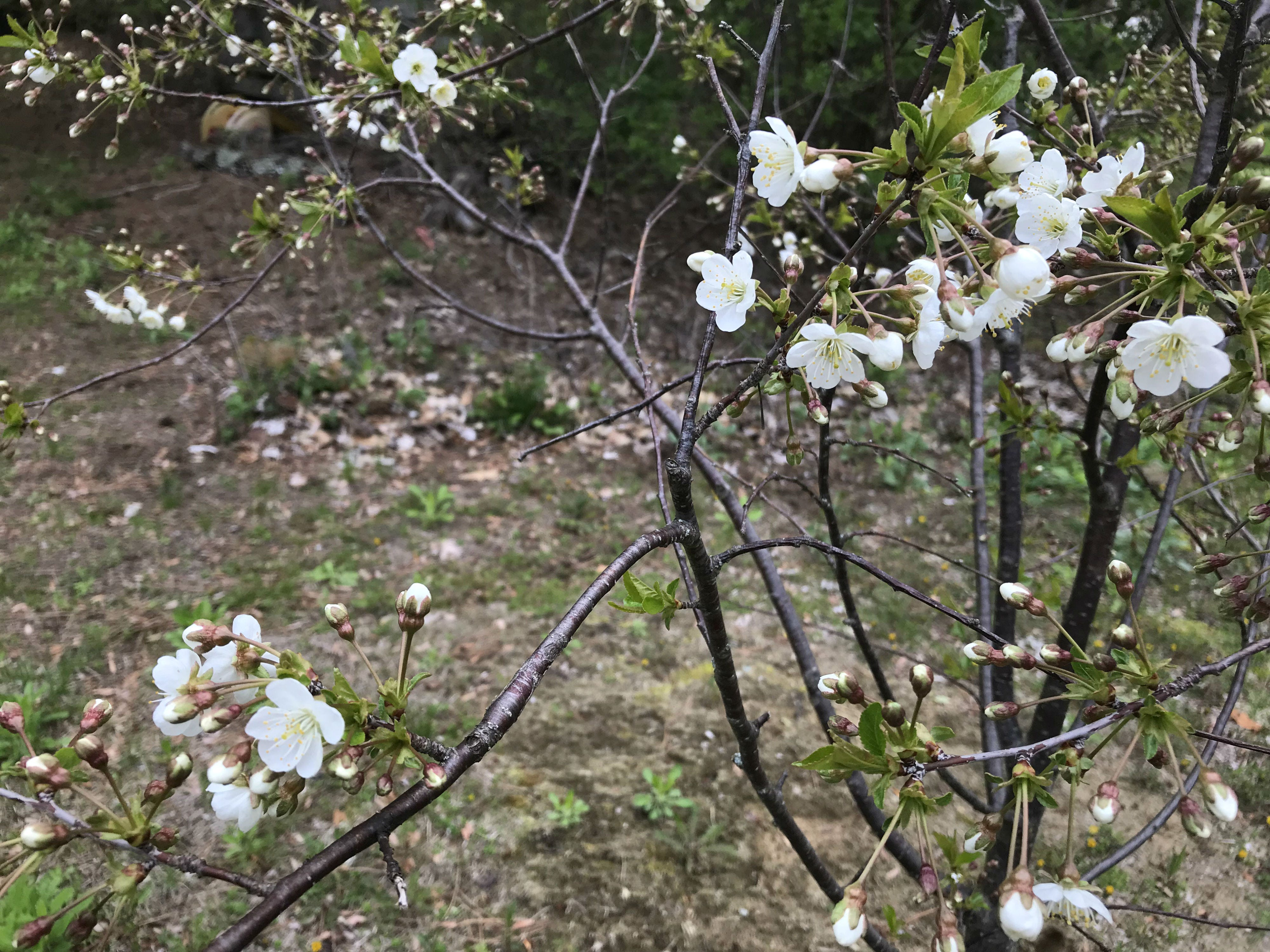 Cherry blossoms make an appearance in South Burlington on Monday, May 13, 2019.