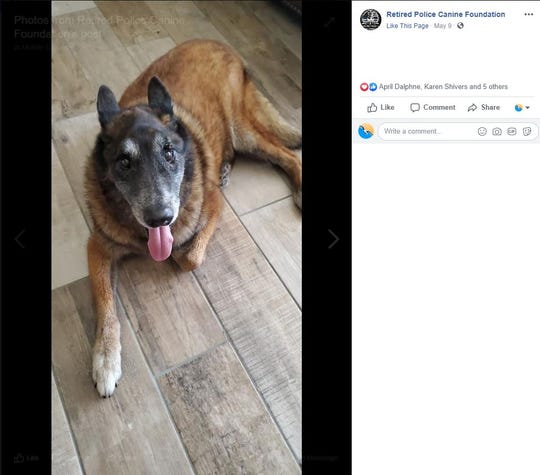 Endy, a retired U.S. Border Patrol K-9, lies down in his home in May. Endy ran away on New Year's Eve and returned home in May after a legal battle with an animal rescue group.