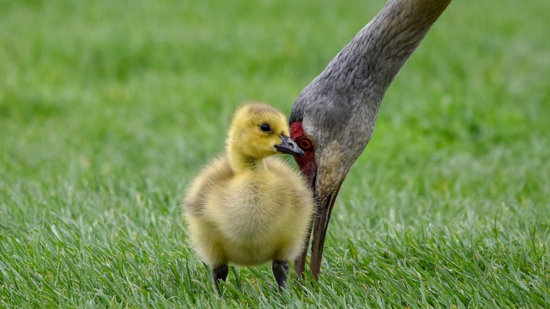An adult sandhill crane nuzzles a Canada goose...