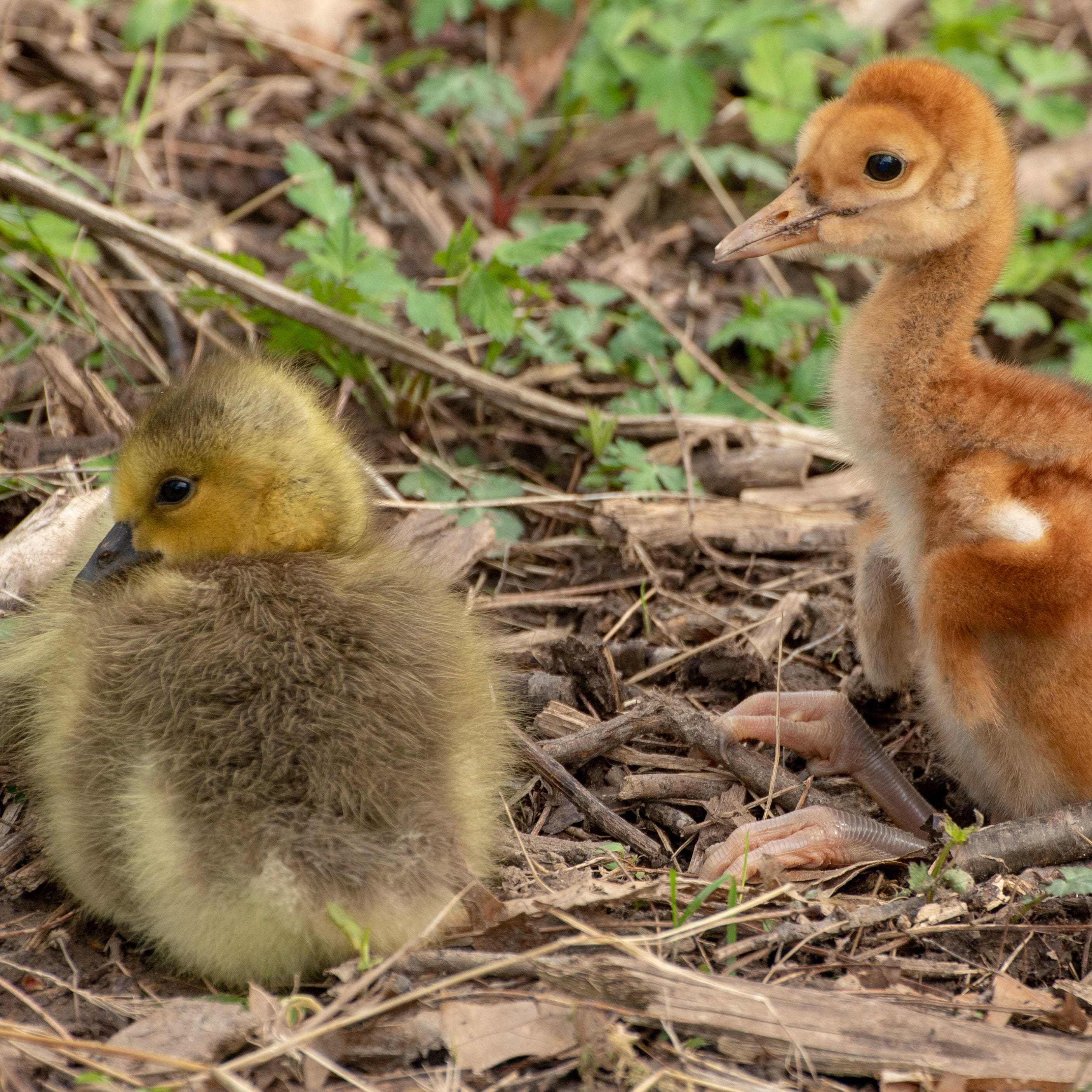 Sandhill crane plays Mother Goose to adopted gosling at Kensington Metropark