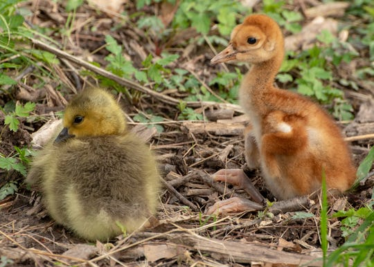A Canada goose gosling, left, rests near a sandhill crane hatchling at Oakland County's Kensington Metropark on May 9, 2019. The gosling has been adopted by the sandhill cranes.