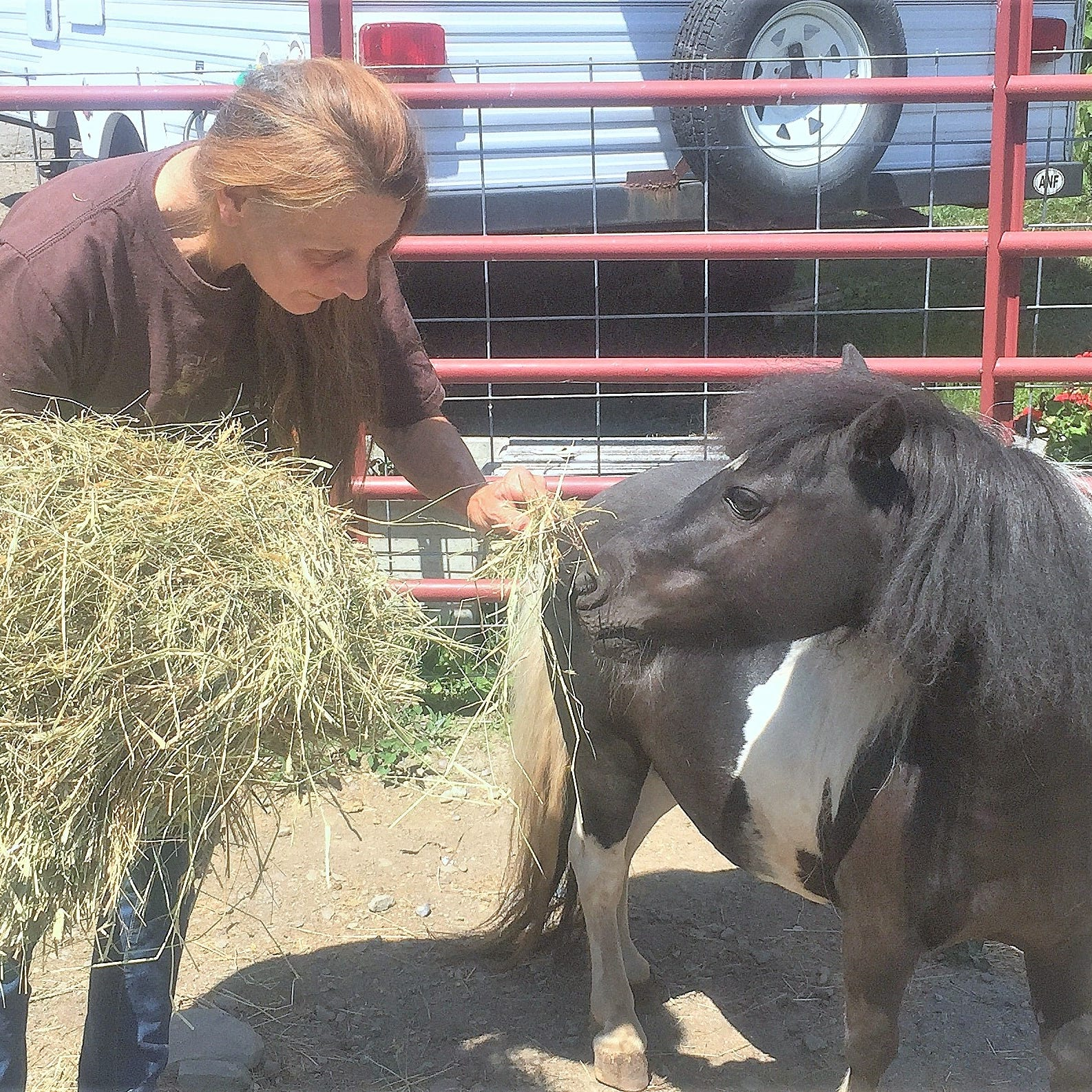 Linda Reichel, operator of A Voice For All Animals/Second Chance Ranch, feeds hay to miniature horse Toby, one of the farm animals in her care.