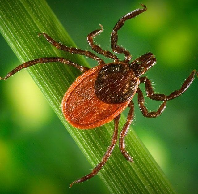 The black-legged tick, sometimes called the deer tick, is responsible for transmitting Lyme disease.