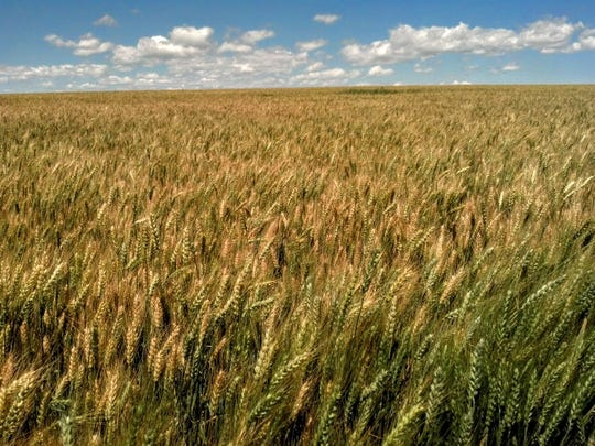 Grain ripens on the Conservation Grains farm between Choteau and Dutton. Grain from the farm, and sourced from other farms, is used in a craft milling venture.