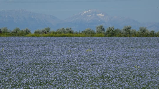Flax blooms along the Rocky Mountain Front on  Spring Coulee Farm near Choteau.