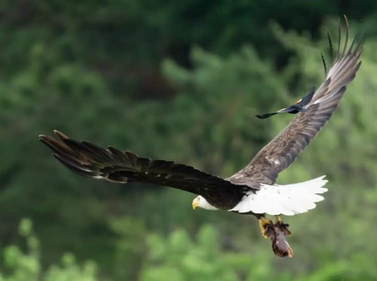 A bald eagle flies away with a meal as a red-winged blackbird tags along at Summit Lake State Park. Bald eagles have become increasingly present in ECI in recent years.
