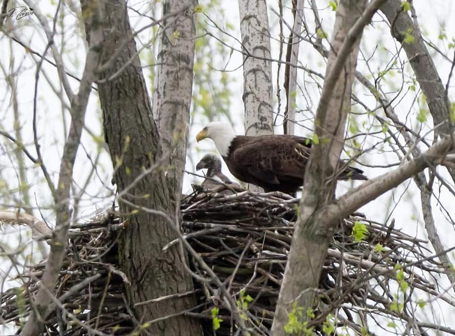 An adult bald eagle cares for its young in a nest at Summit Lake State Park. Bald eagles have become increasingly present in ECI in recent years.