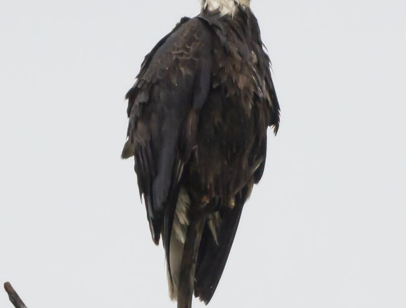 A bald eagle perches at Summit Lake State Park. Bald eagles have become increasingly present in ECI in recent years.