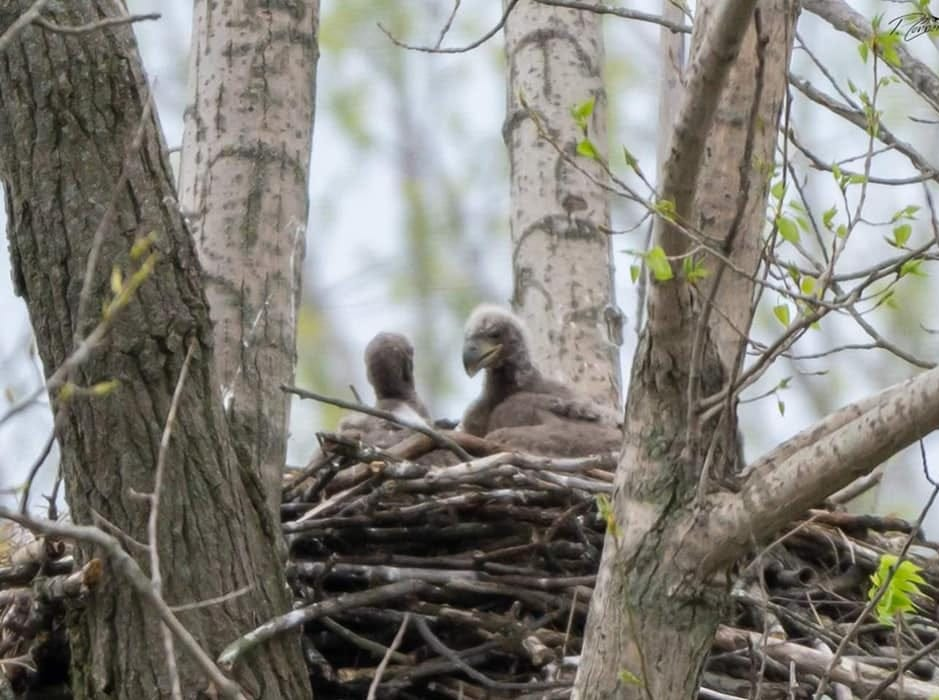 Young bald eagles sit in a nest at Summit Lake State Park. Bald eagles have become increasingly present in ECI in recent years.