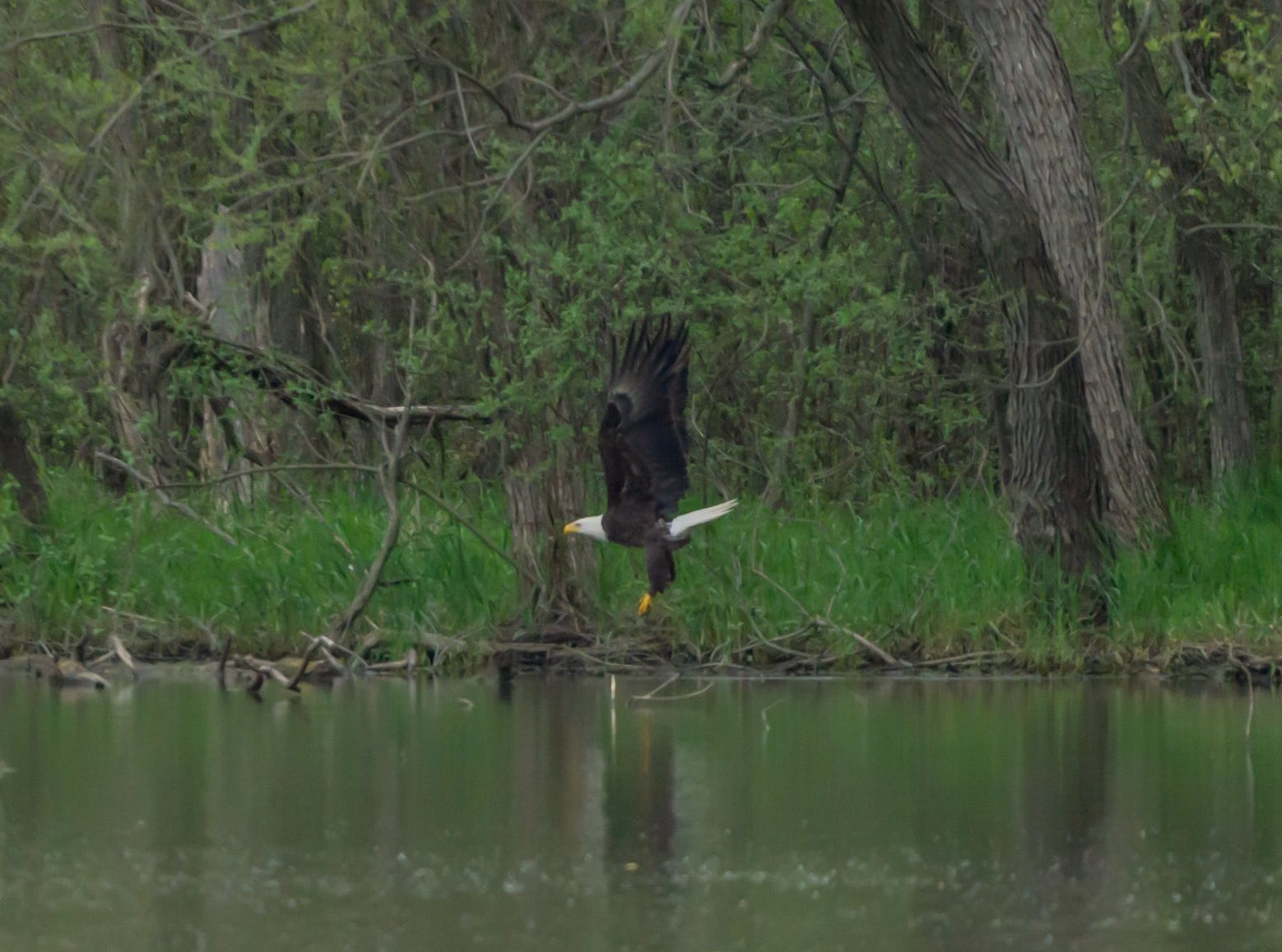 A bald eagle flies over the water at Summit Lake State Park.  Bald eagles have become increasingly present in ECI in recent years.