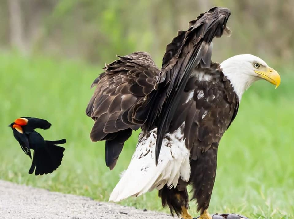 A bald eagle and a red-winged blackbird surround a meal at Summit Lake State Park. Bald eagles have become increasingly present in ECI in recent years.