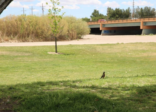 A robin stands in the grass at La Llorona Park on Monday, May 13, 2019, in Las Cruces, as a dry Rio Grande riverbed is seen in the background. Federal reclamation officials haven't yet released water into the southern New Mexico stretch of the river due to a low amount of water in upstream reservoirs over the winter.
