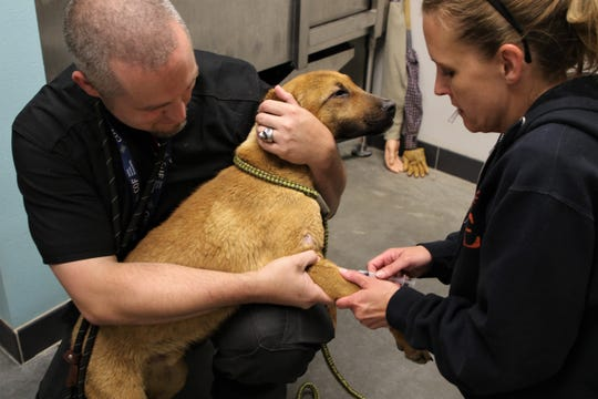 Farmington Regional Animal Shelter Animal Care and Enrichment Coordinator Steven West holds a dog named Crash Bandicoot, Monday, May 13, 2019, while Community Program Coordinator Amber Francisco draws blood for a heartworm test.