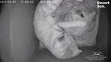 The sand cat kittens were born last month in Palm Desert.