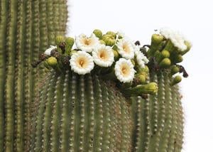 Flowers bloom on a saguaro in the Sonoran Preserve in north Phoenix on May 12, 2019.