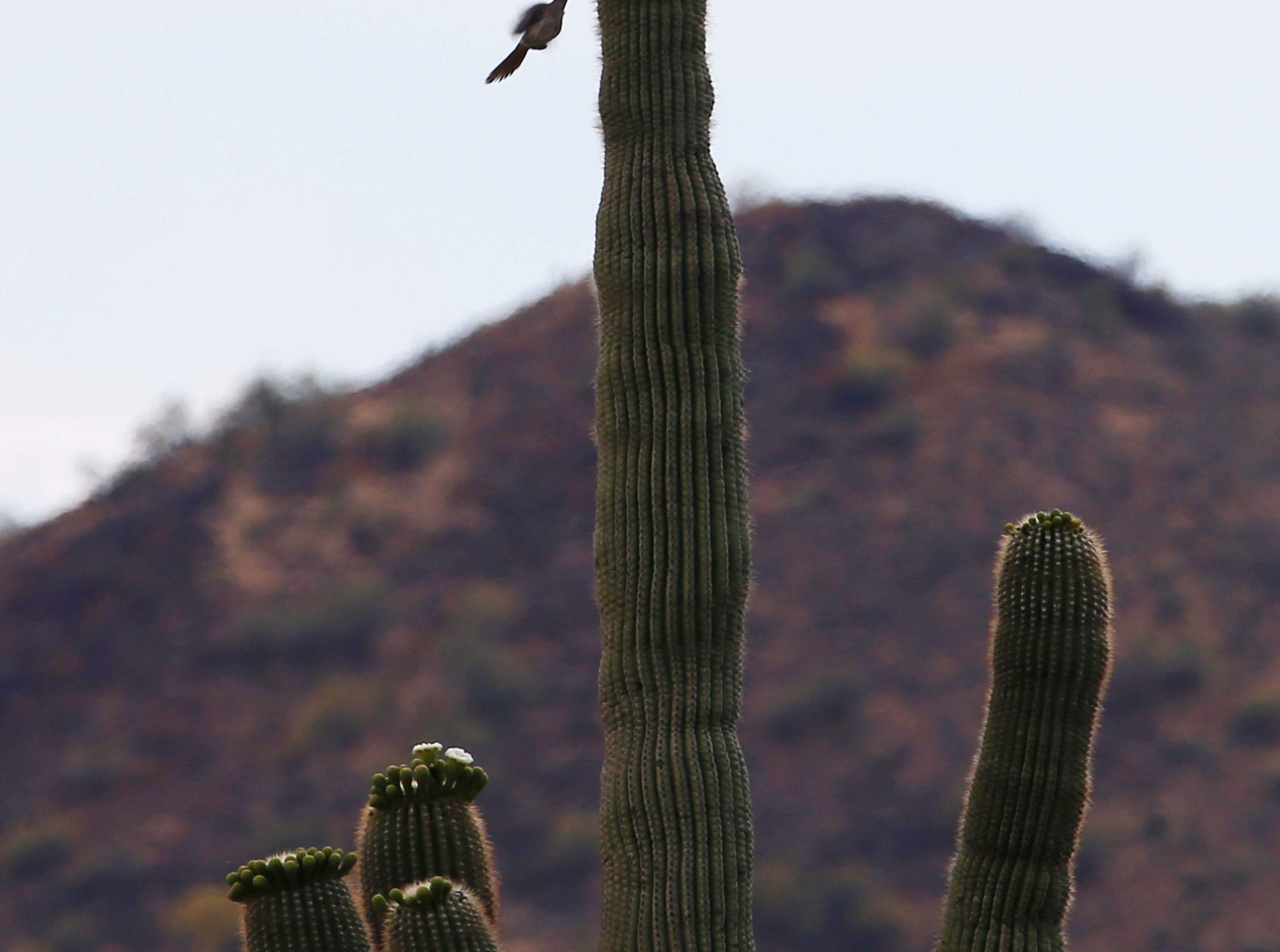 Birds fly around a saguaro in the Sonoran Preserve in north Phoenix May 12, 2019. Save Our Sonoran Preserve is opposing the proposed high-density housing next to the preserve.