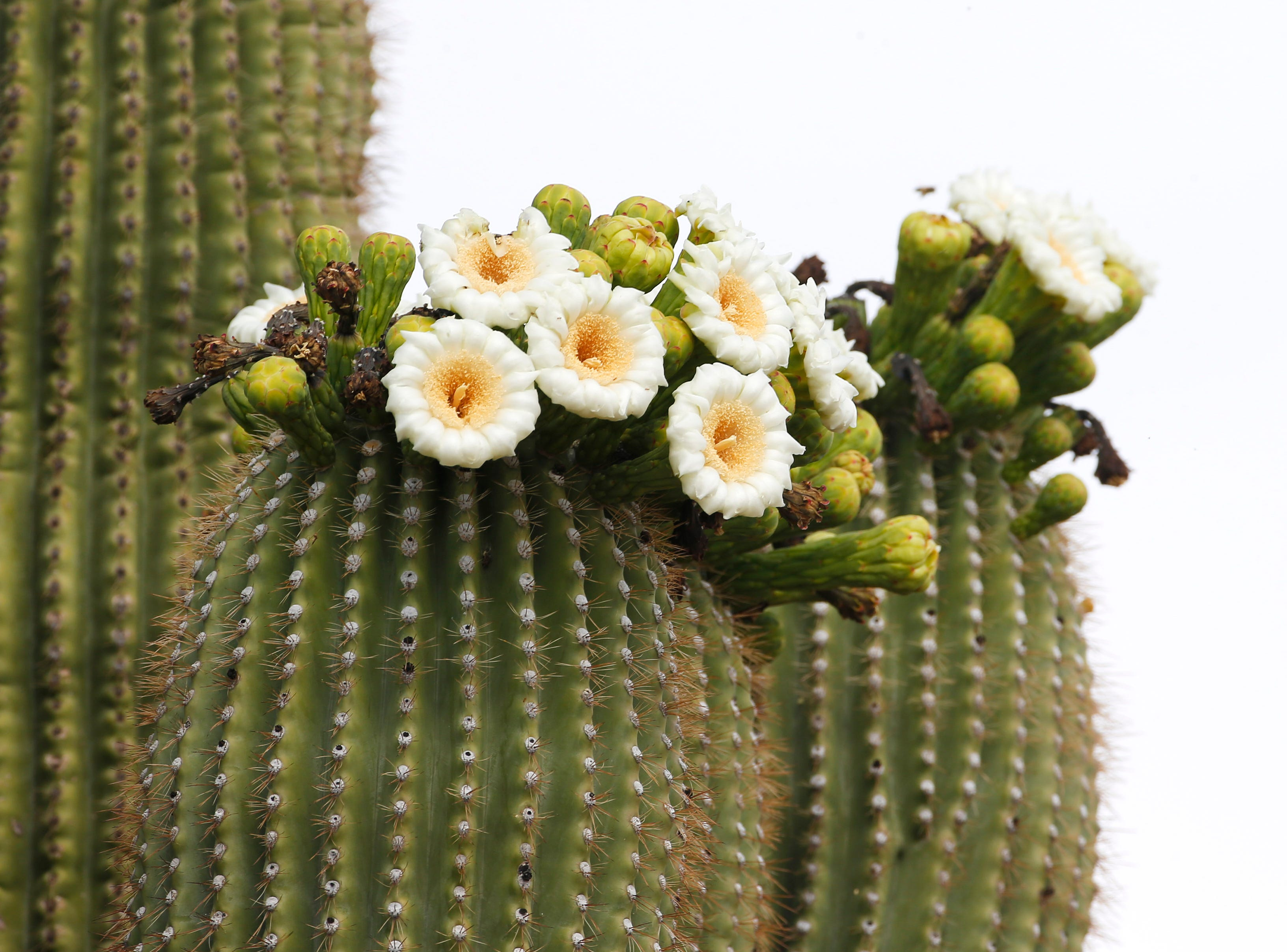 Flowers bloom on a saguaro in the Sonoran Preserve in north Phoenix May 12, 2019. Save Our Sonoran Preserve is opposing the proposed high-density housing next to the preserve.