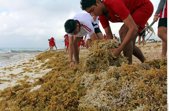 Un grupo de jóvenes limpian en sargazo en una playa mexicana.