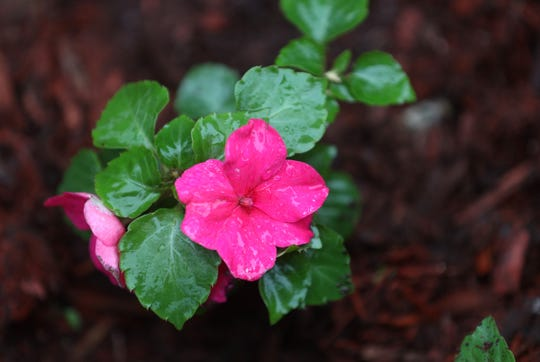 Impatiens are one of the most popular annual flowers because of their bright colors and the ability to grow in shady areas.