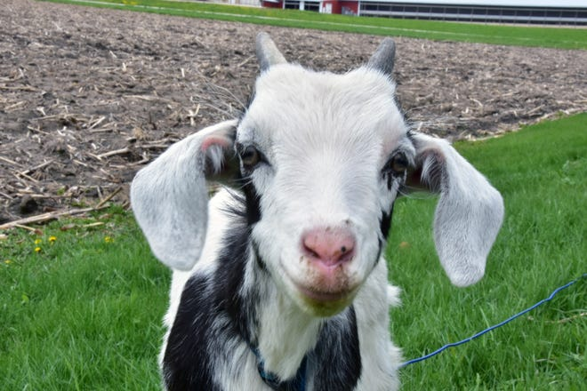 Playing with baby goats is only one stop on the Rubicon area spring farm tour on May 18.