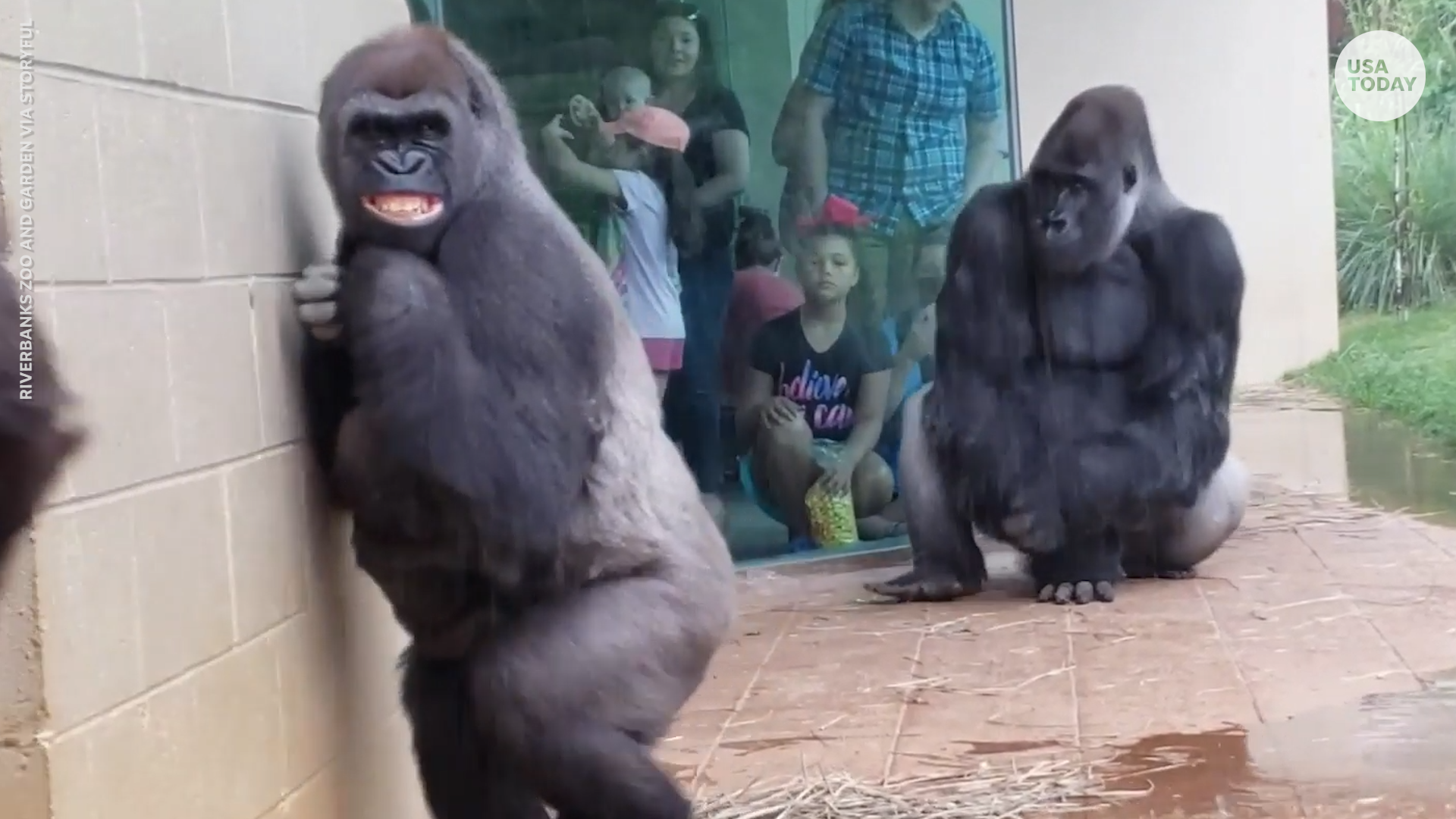 Gorillas hilariously cringe as they dodge the downpour