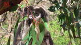 Experts believe that the many threats to koalas now make them functionally extinct.