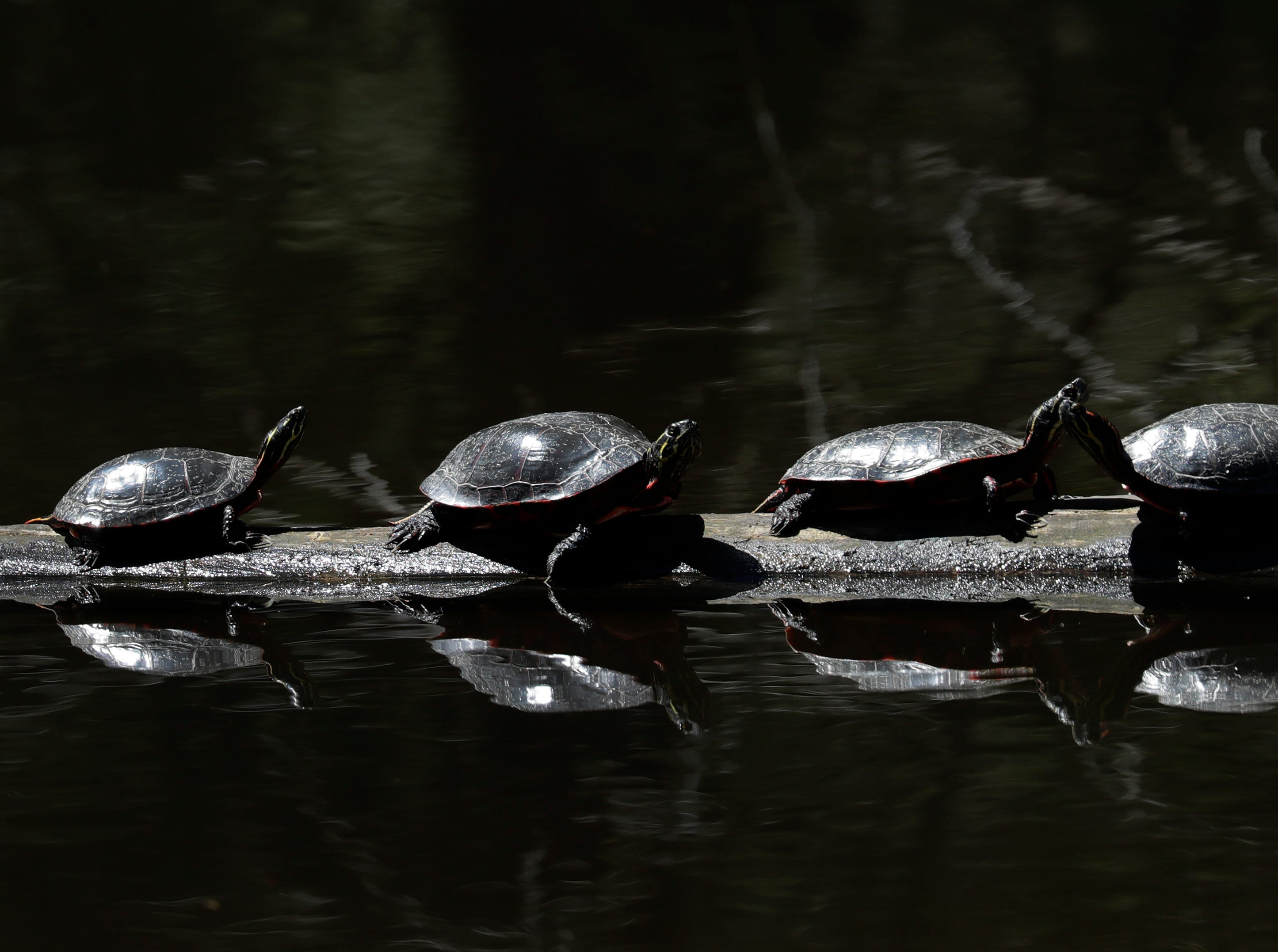 A group of turtles bask in the sun Friday, May 10, 2019, at the Rydell Conservancy in Fox Crossing, Wis. 