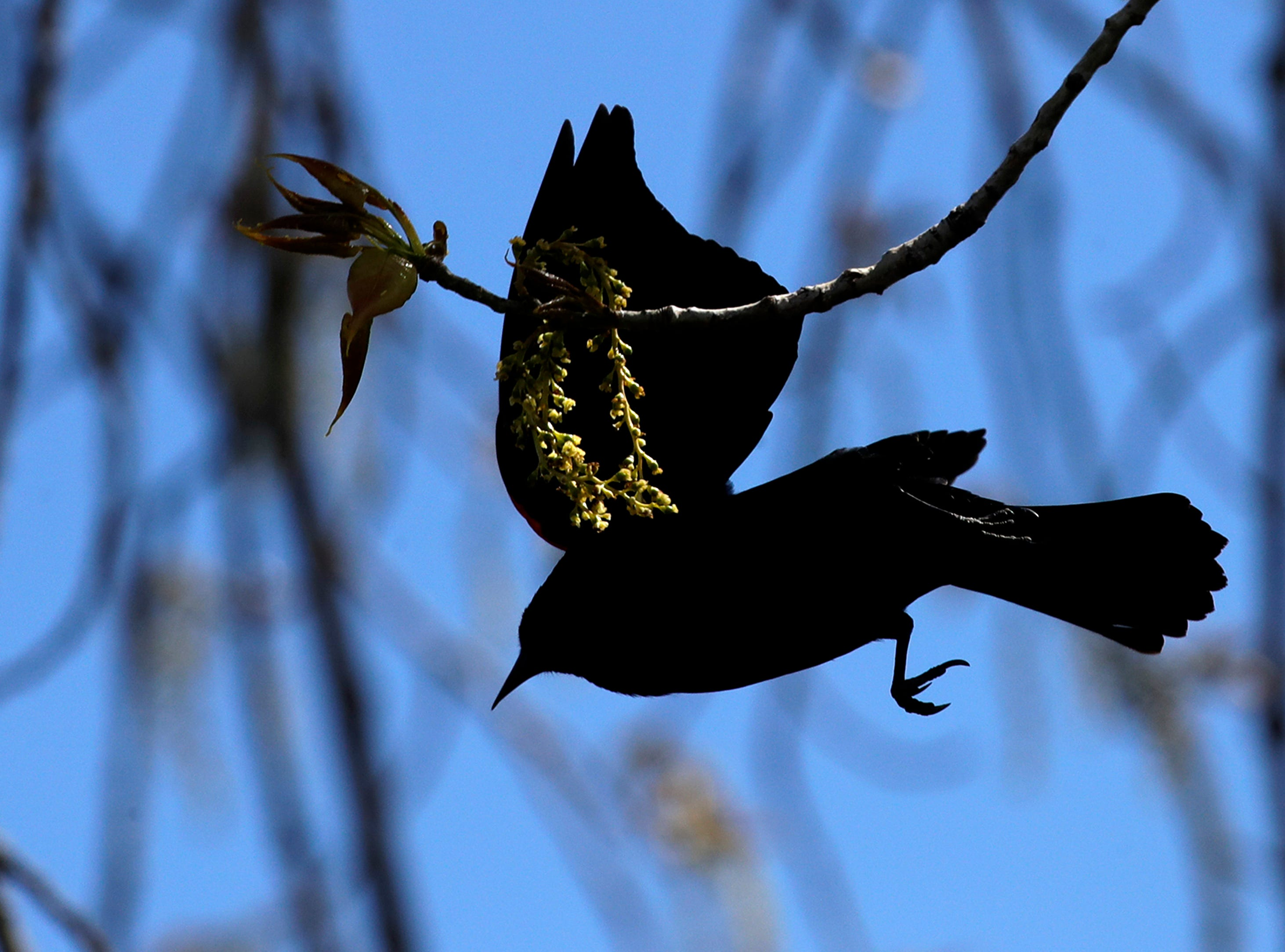 A red-winged blackbird is silhouetted among the branches of a tree along Lakeshore Avenue Friday, May 10, 2019, in Neenah, Wis. 