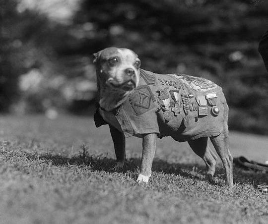 Sgt. Stubby in his prime.